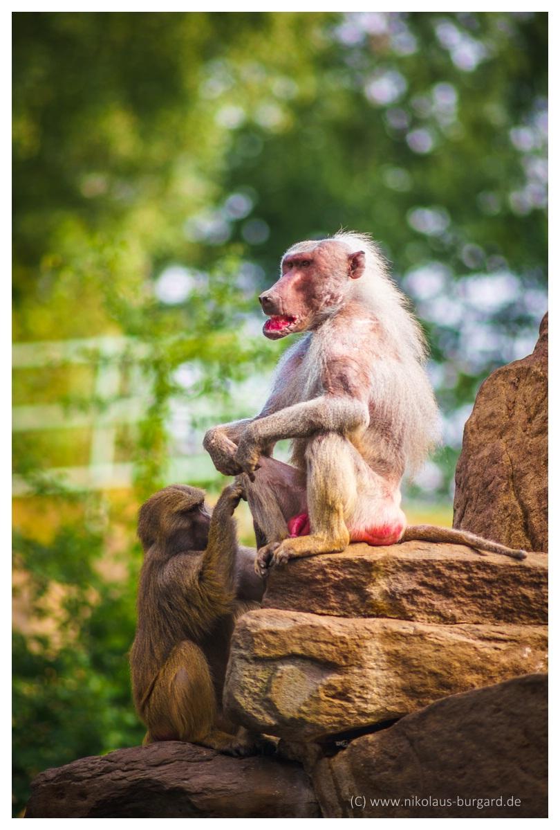 Name:  299kb_Zoo NK Canon FD 300f4, Tokina 60-120 f2.8 134.jpg Hits: 1256 Größe:  281,3 KB