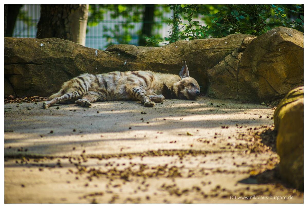 Name:  299kb_Zoo NK Canon FD 300f4, Tokina 60-120 f2.8 096.jpg Hits: 1254 Größe:  283,6 KB