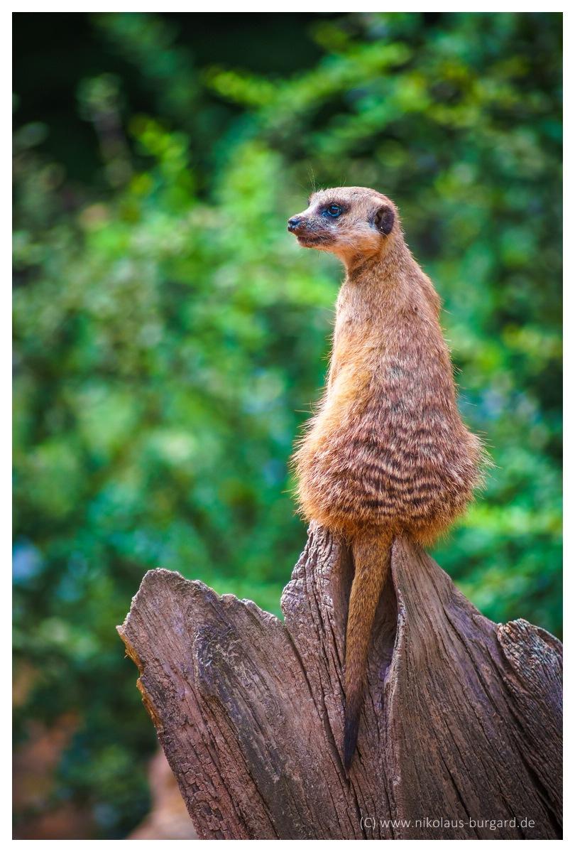 Name:  299kb_Zoo NK Canon FD 300f4, Tokina 60-120 f2.8 026.jpg Hits: 1246 Größe:  276,2 KB