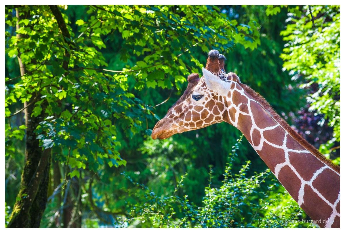 Name:  299kb_Zoo NK Canon FD 300f4, Tokina 60-120 f2.8 078.jpg Hits: 1247 Größe:  287,6 KB