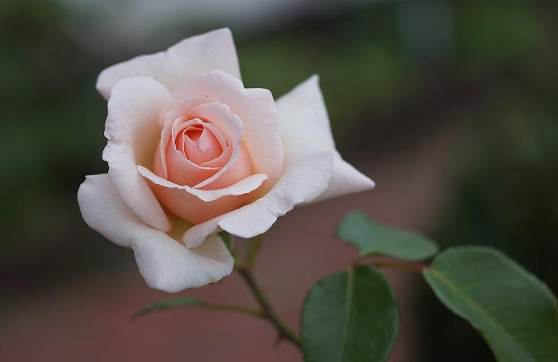 Name:  rose.jpg Hits: 1251 Größe:  218,7 KB