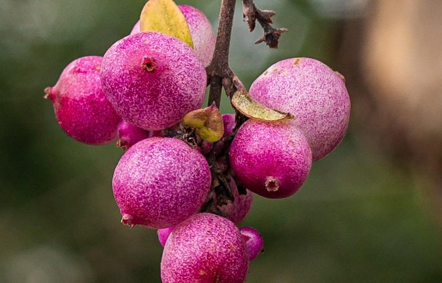 Name:  Crop Beeren.jpg Hits: 226 Größe:  174,5 KB