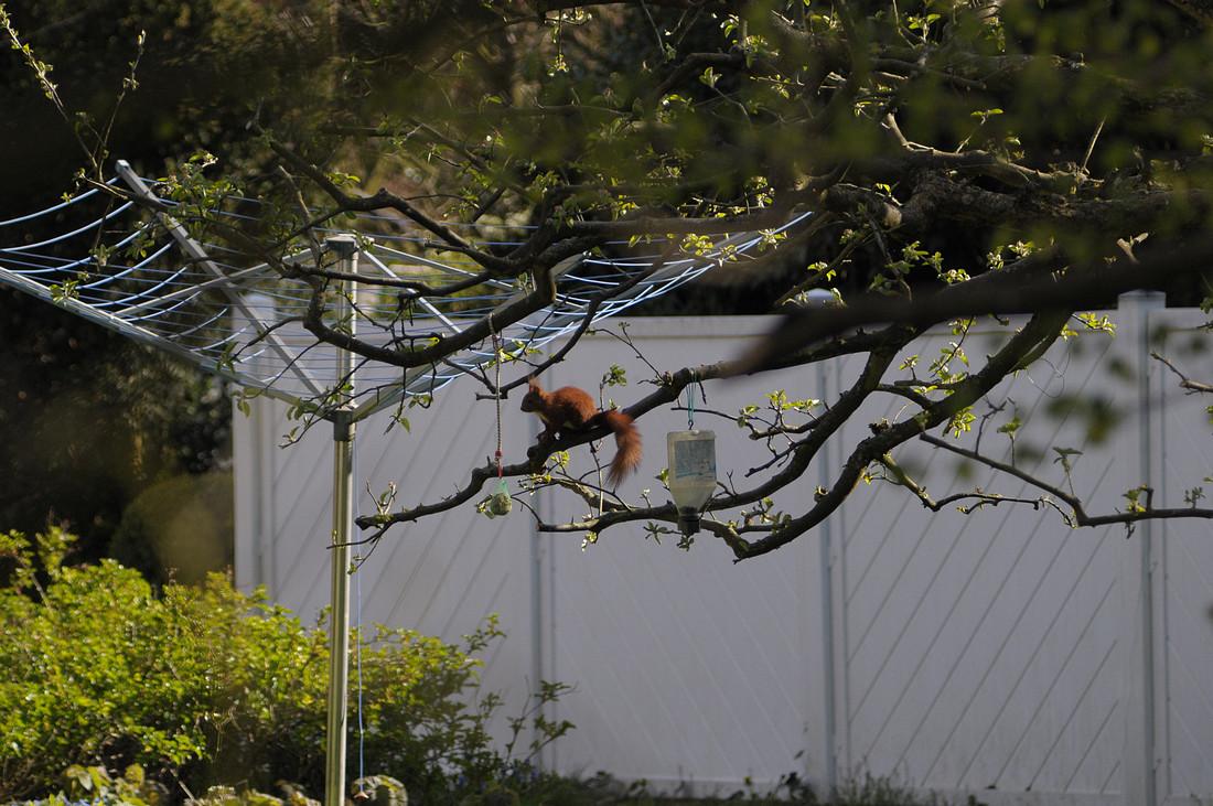 Name:  Eichhörnchen.jpg Hits: 865 Größe:  289,1 KB