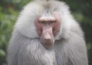 Mantelpavian Zoo