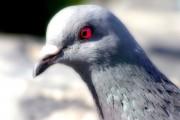 Taube ganz nah