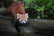 Kleiner Panda auf Pirsch