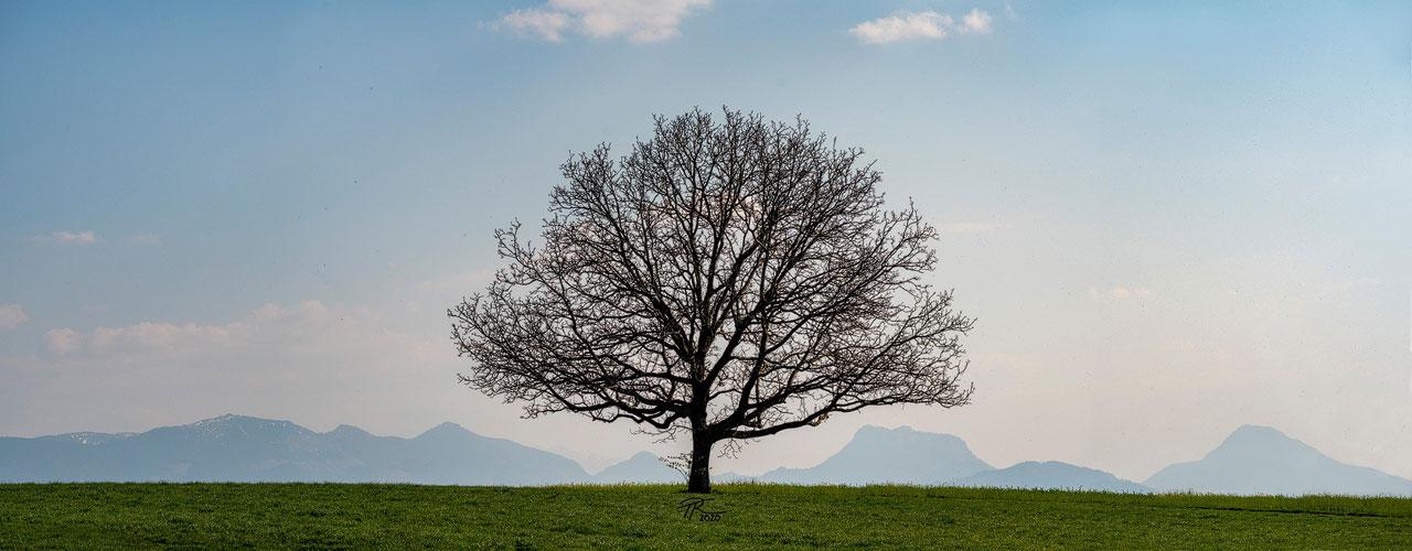 Panorama-Baum (Contax Planar 2/100)