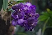 Orchideenblüten in blau