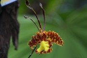 Orchidee mit Gesicht