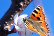 Schmetterling auf Mirabellenblüte