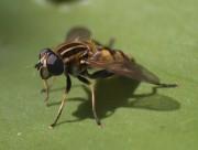 Fliege auf Seerosenblatt