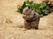 Arizona-Grauhörnchen