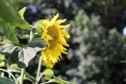 Sonnenblume Typ Zierpflanze von Oldman1