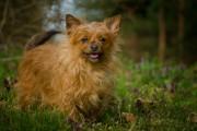 Chihuahua terrier dog portrait