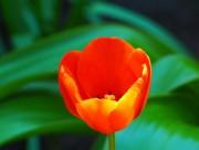 Tulpe mit Tele