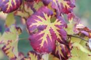 Herbstadern