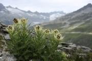 Alpenkratzdistel