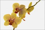 Orchidee von Bergteufel