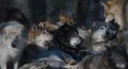 Wolfsrudel von sehl