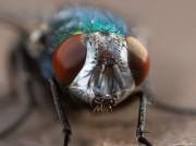 Fliegenkopf von Dbuergi