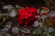 Rose im Morgenlicht