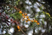 Berberitzenblüten im Wind von ulganapi