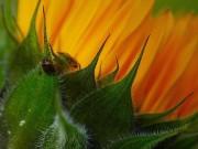 Der Käfer und die Sonnenblume