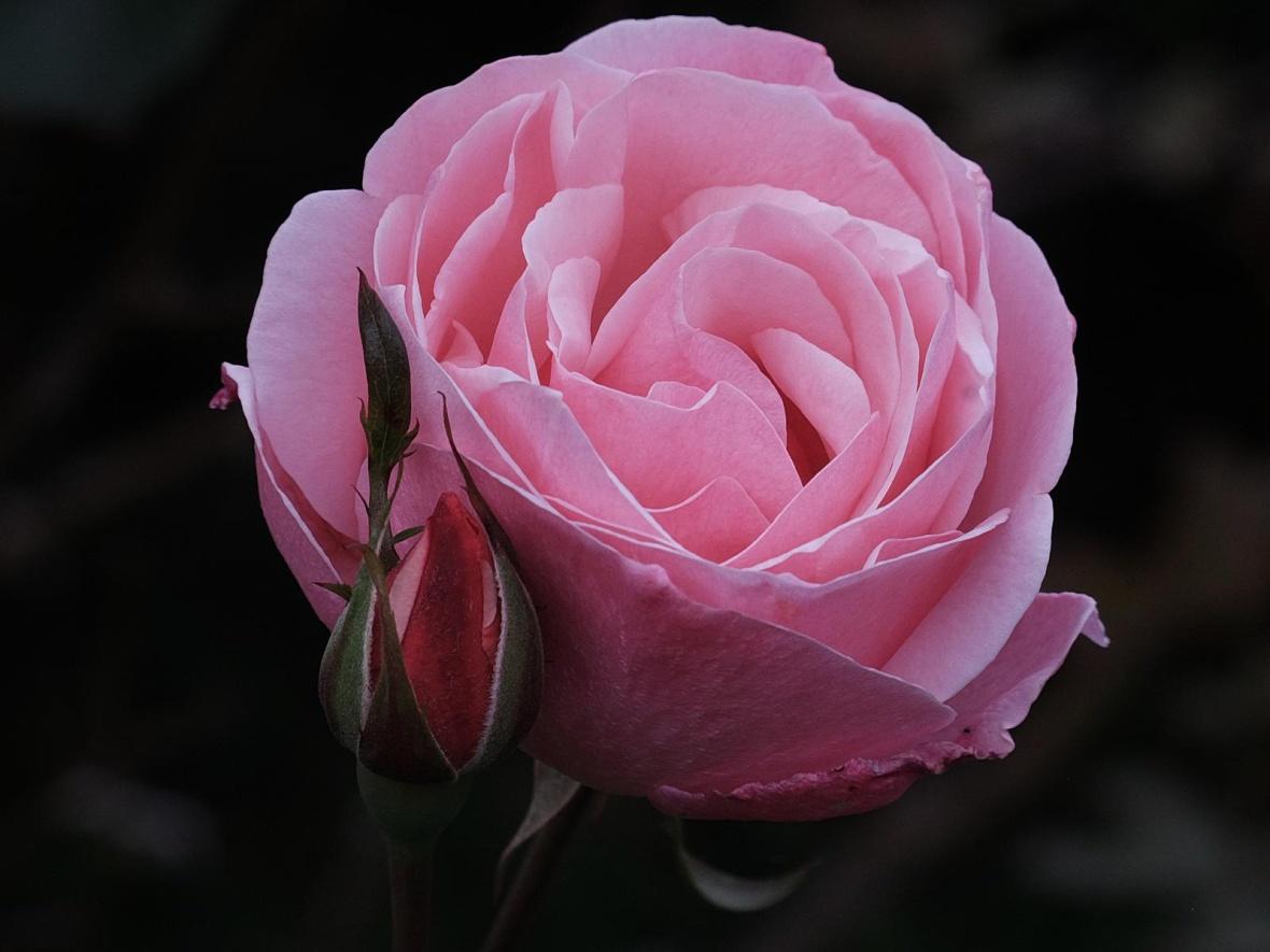 klassische englische Rose