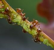 Ameisen mit Blattläusen von Bueguzz