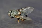 Stubenfliege (tot) von Bueguzz