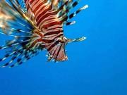 Feuerfisch von HansDampf