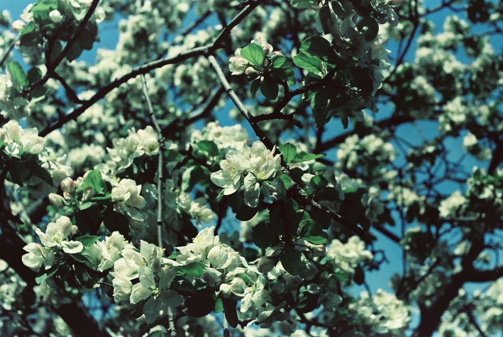Apfelblüte 1976