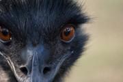 Emu von Maeschwa