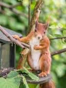 Squirrel-Frühstück