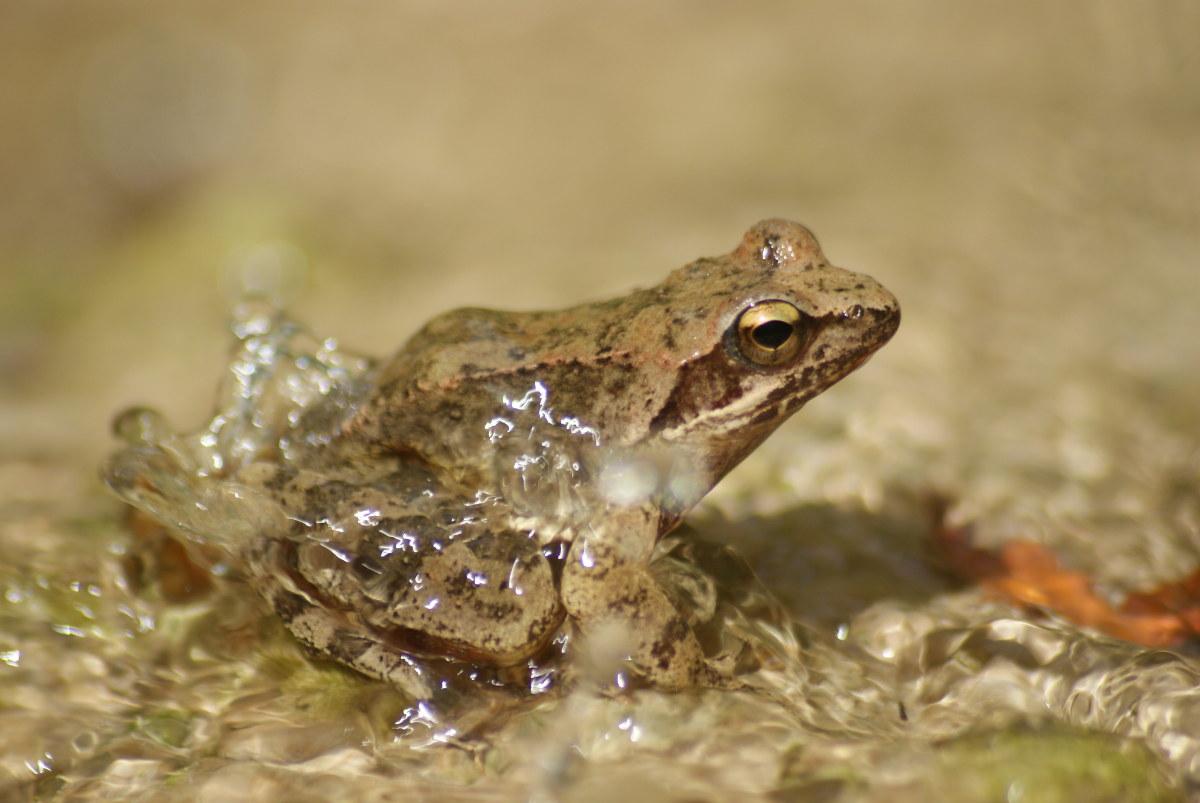 Frosch in Polilimnio (Peloponnes)