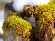 Schmelzender Schnee auf Baumstumpf