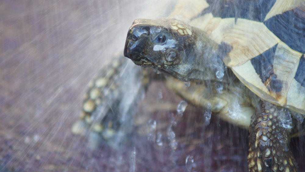 Morgentoilette einer Schildkröte: