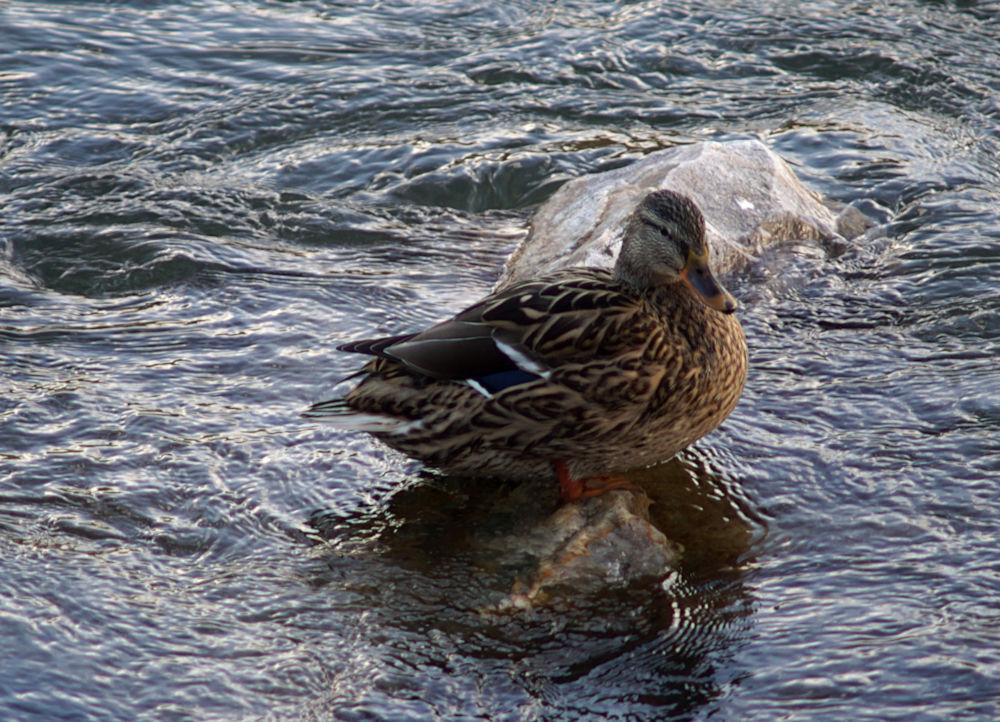 Ente im eisigen Wasser