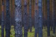 Kiefern - Wald