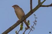 Grünfink-Weibchen