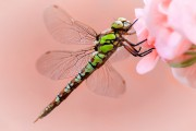 Libelle-grün