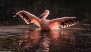 Pelikan im Gegenlicht - Kommentare: 14
