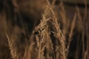 Trockene Gräser im März