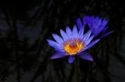 Blaue Seerose im Arboretum