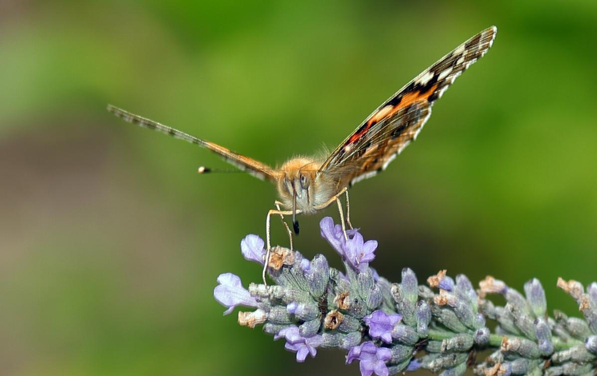 Schmetterfatz