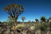 Köcherbäume (Aloe Dichotoma)