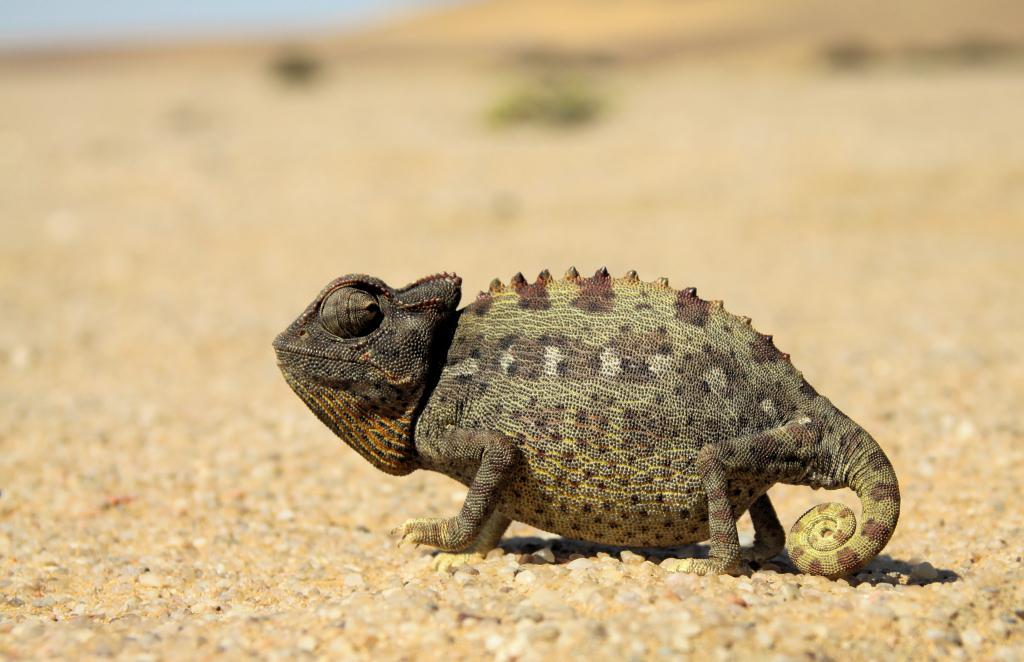 Wüsten-Chamäleon (Chamaeleo namaquensis)