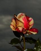 Letzte Rose dieses Jahr?