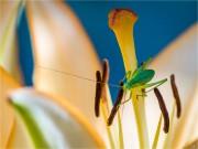 Lilienschrecke