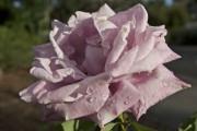 Eine Rose ist eine Rose ist eine Rose ...